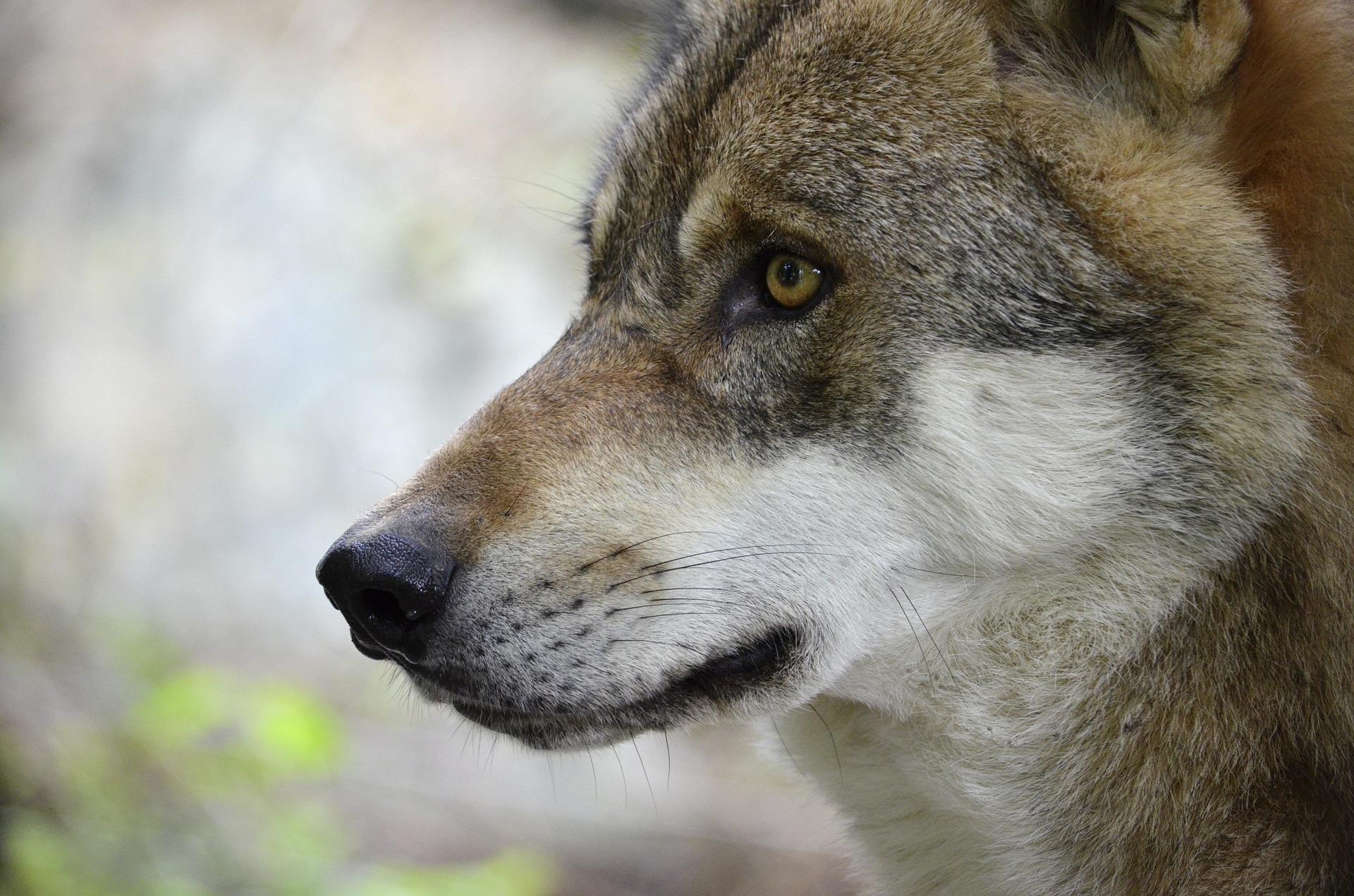 Die Geschichte von den zwei Wölfen